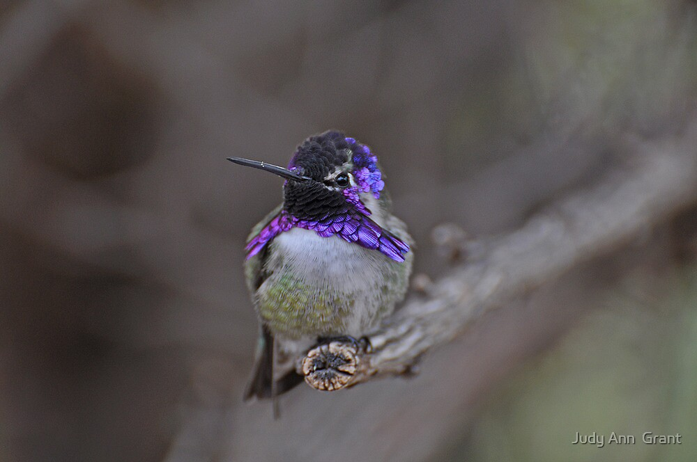 Male Costa  in his Glory  by Judy Grant