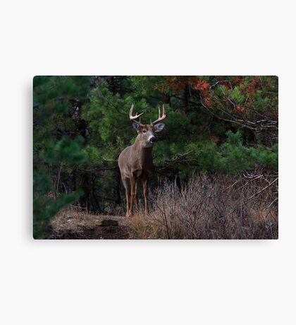 The King is Dead...Long Live the King - White-tailed Deer Canvas Print