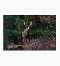 The King is Dead...Long Live the King - White-tailed Deer Photographic Print