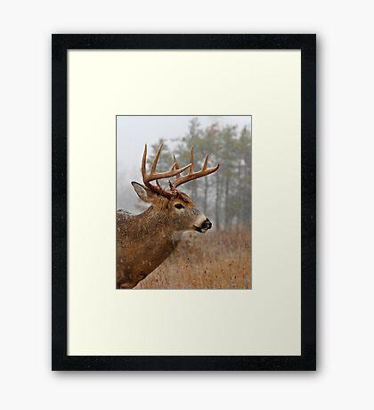 Bullet Buck - White-tailed deer Framed Print