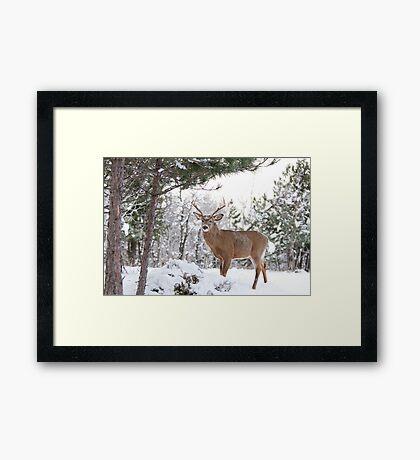 Frosty Buck - White-tailed Buck, Ottawa Framed Print