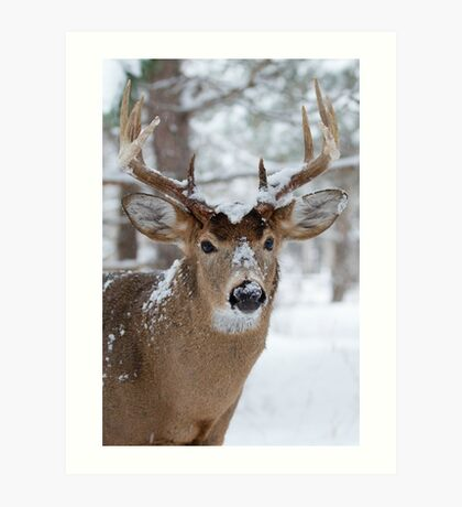 White-tailed buck in snow Art Print