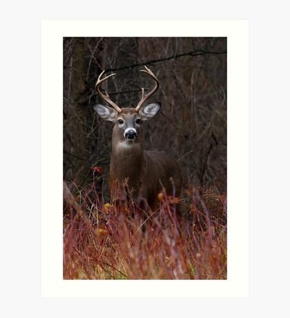 Young Buck - portrait - White-tailed Deer Art Print