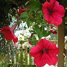 Red Petunia by katymckay