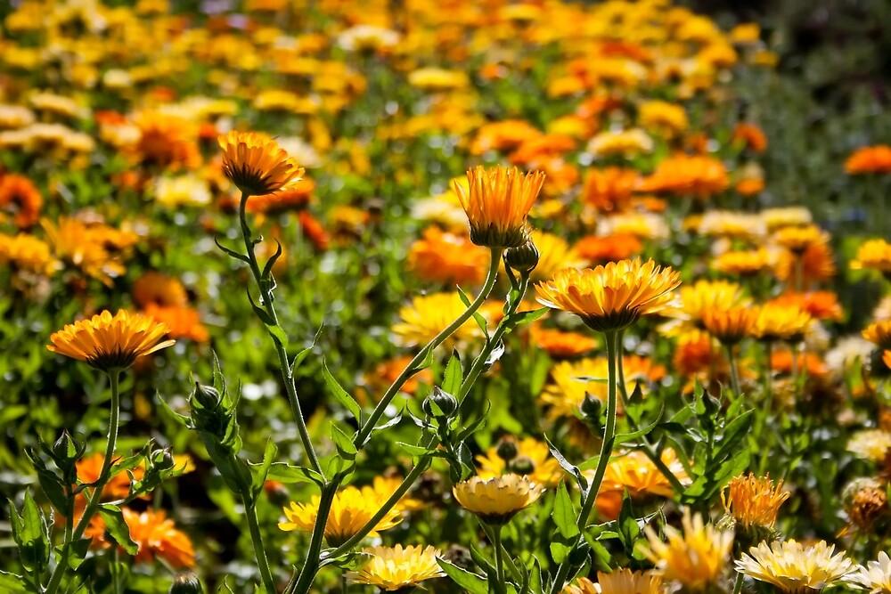 Flower Fields by Vicki Field