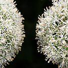 Allium  Twins by EUNAN SWEENEY