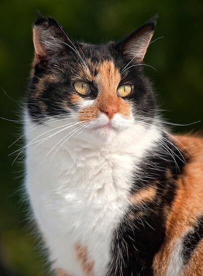 Calico Cat by Eyal Nahmias