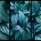 Persian Shield Triptych by Jessica Jenney
