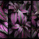 Purple Persian Shield  by Jessica Jenney