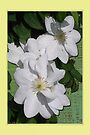 White Clematis by Terri Chandler