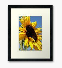 Sunflower at the pumpkin patch  Framed Print