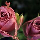 Cool Water Roses #2 by J J  Everson
