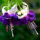 White & Purple double fuchsia by Bev Pascoe