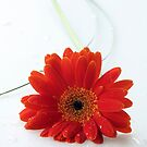 red gerbera by OldaSimek