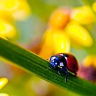 Ladybird on Ragwort by Vicki Field
