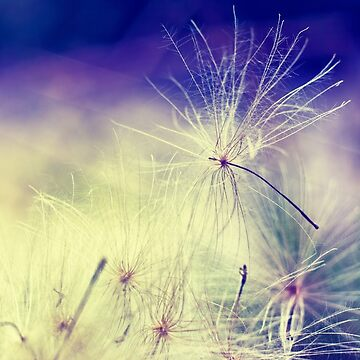 Thistle Seeds by InspiraImage