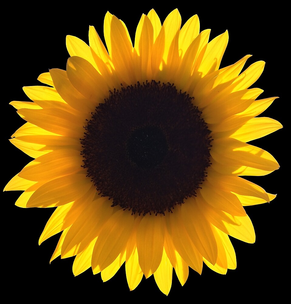 Large Single Yellow Sunflower Eclipse by O O