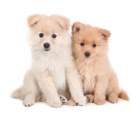 """Cuddly Newborn Pomeranian Puppies"" Poster by tobkatrina ..."
