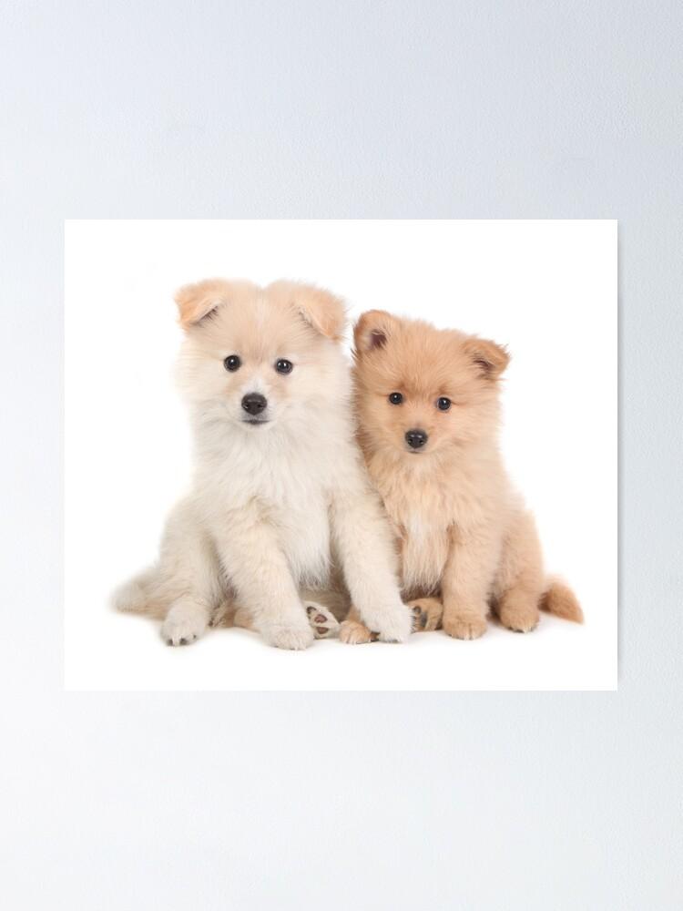 Cuddly Newborn Pomeranian Puppies Poster By Tobkatrina Redbubble