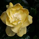 Gardenia #2 in my garden by Bev Pascoe