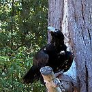 Wedge-tailed Eagle in tree, Healesville Sanctuary by BronReid