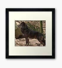 Alpha Male Grey Wolf Framed Print