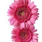 two pink gerberas by OldaSimek