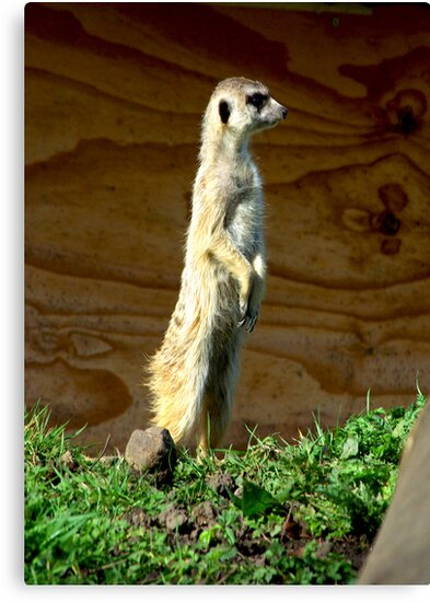 ComparetheMeerkats by Trevor Kersley