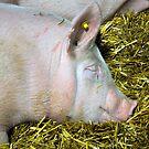 Sleep, Piggy, Sleep by Corkle