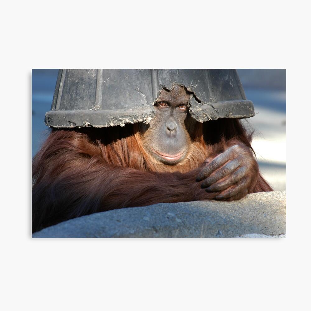 Bornean Orangutan (Pongo pygmaeus) 1 Canvas Print