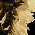 Sepia Sunflower by aquarius84
