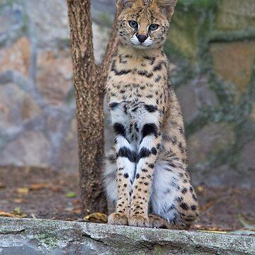 Serbia. Belgrade. Zoo. Serval. by vadim19