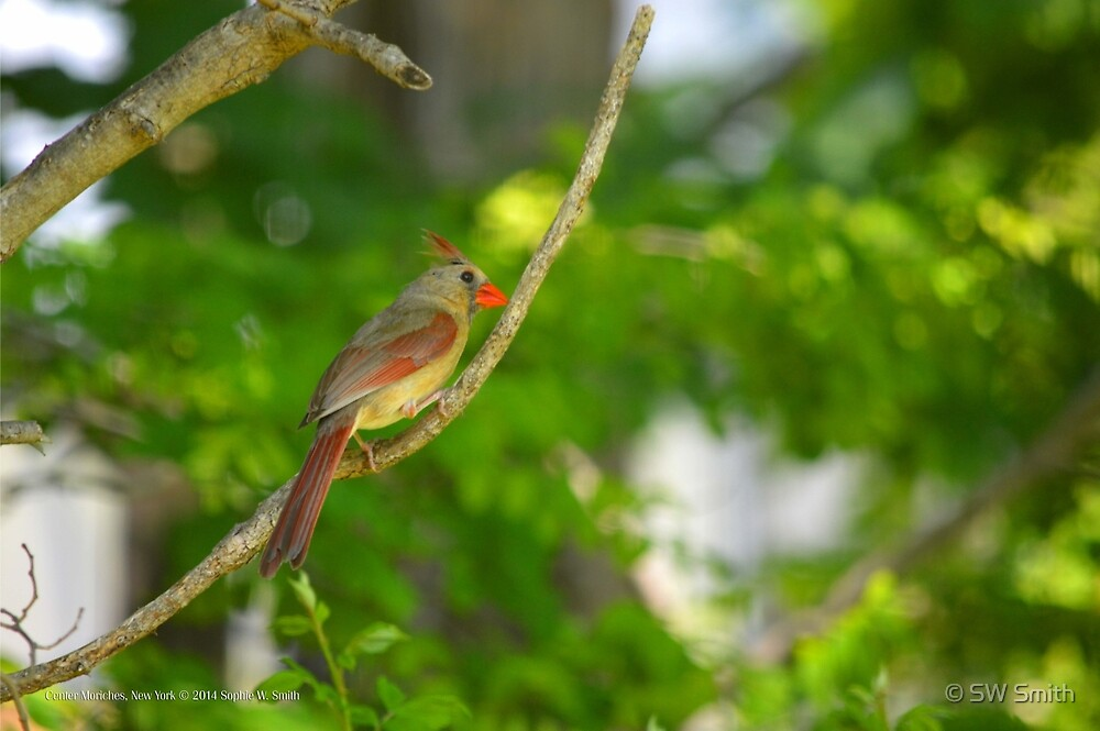 Cardinalis Cardinalis - Female Northern Cardinal   Center Moriches, New York  by © Sophie W. Smith