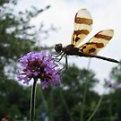 Dragonfly Perched by shutterbug2010