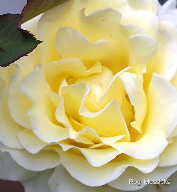 Lovely lemon Rose.......!! by Roy  Massicks