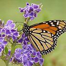 Butterfly Beauty by Martice