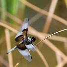Dragonfly on Reed by K D Graves Photography