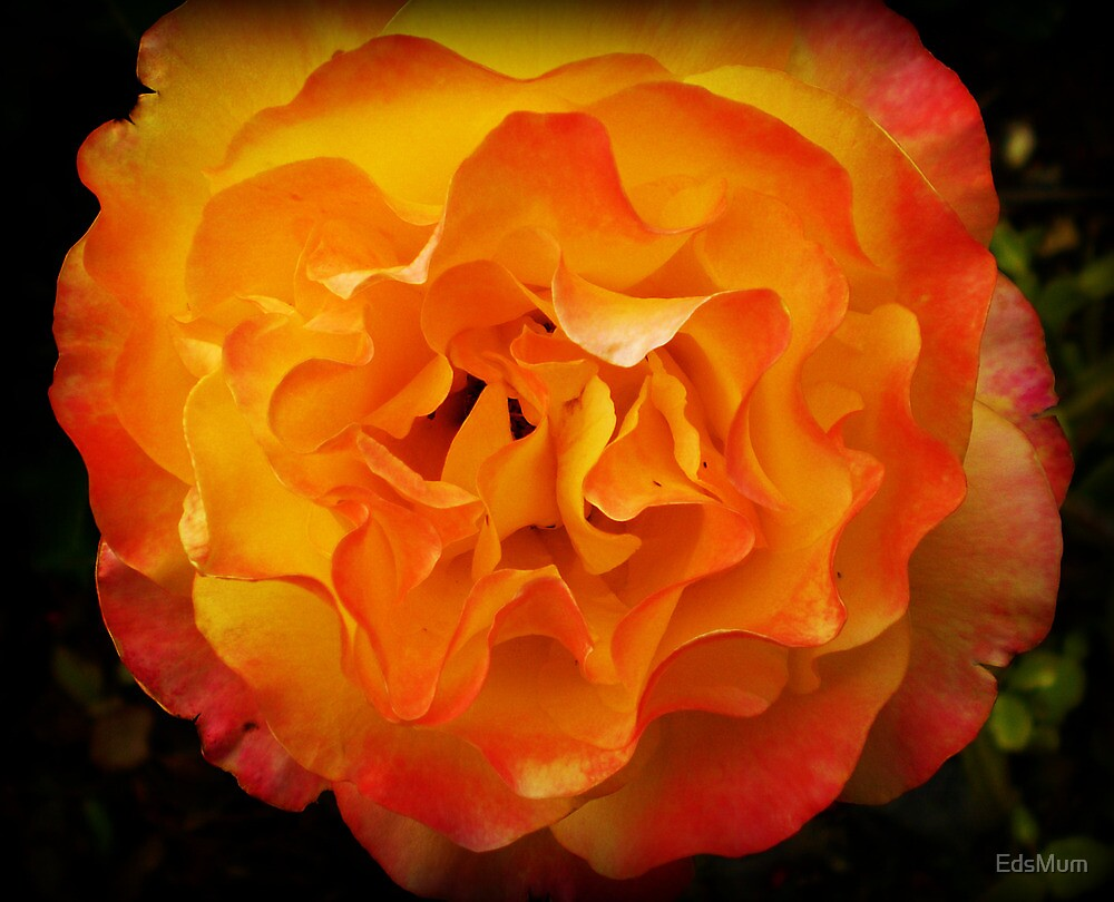 Two tone Rose - Spring. Oct. 2009 by EdsMum