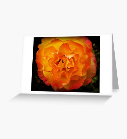 Two tone Rose - Spring. Oct. 2009 Greeting Card