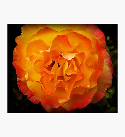 Two tone Rose - Spring. Oct. 2009 Photographic Print