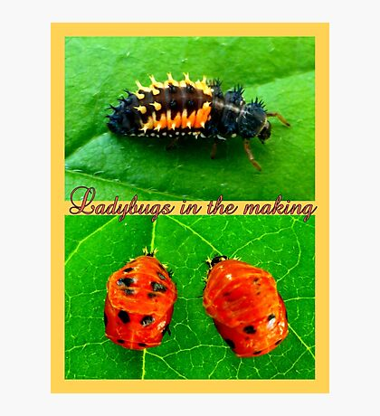 Ladybugs in the making Photographic Print