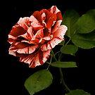 Pink'n'White by Kelvin Hughes