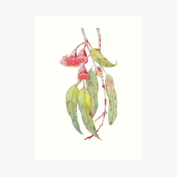 Flowering Silver Princess Eucalyptus Watercolour Art Print