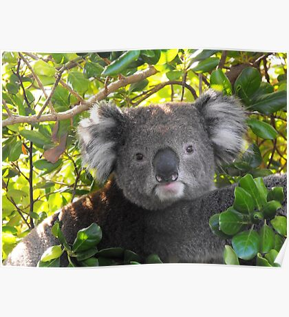 Koala on Otway (Can't you see I am busy?) Poster