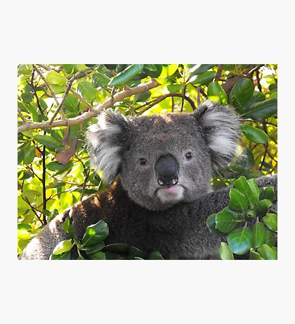 Koala on Otway (Can't you see I am busy?) Photographic Print