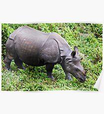 Female Rhinoceros - Rhinoceros unicornis Poster