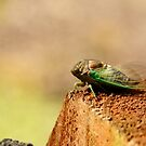 Chillin' Cicada by eyes4nature