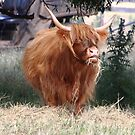 highland cattle at Bothwell, Tasmania by gaylene