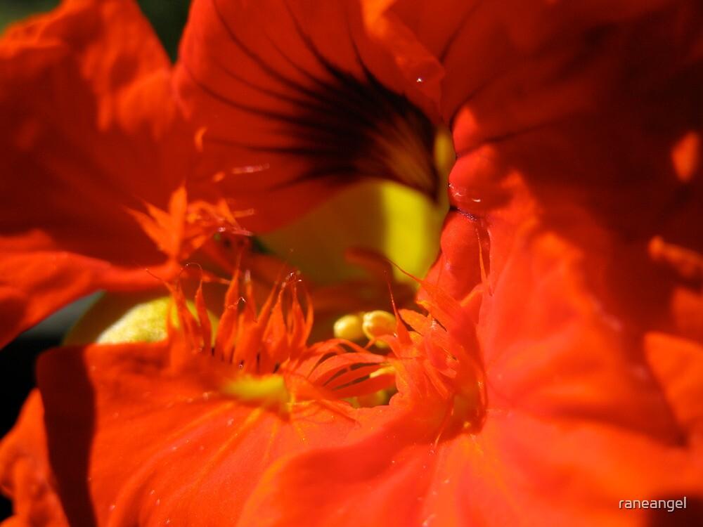 Nasturtium Flower by raneangel