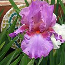Lavender Colored Iris by kkphoto1